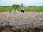 Гусиная ферма бизнес план – Мини гусиная ферма — как заработать миллион на разведение гусей (2019) — с чего начать и сколько можно заработать