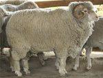 Тонкорунное овцеводство в россии – Тонкорунное овцеводство в РФ. — КиберПедия