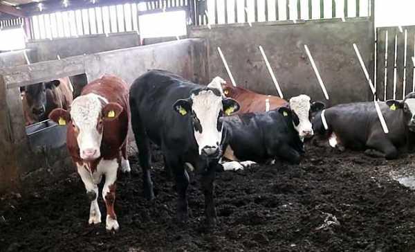 Ферма крс молочного направления дойка